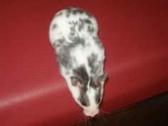 Black dominant spot sh carrying polywhite (aa - DsdsL_whwhp) Hamsters As Pets, Pet Rodents, Cute Hamsters, Hamster Cages, Syrian Hamster, Gerbil, Guinea Pigs, Cute Pictures, Coats