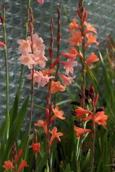 watsonia laccata c