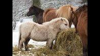 Johanna Ihalainen - YouTube Tallit, Horses, Youtube, Animals, Animales, Animaux, Animal, Animais, Horse