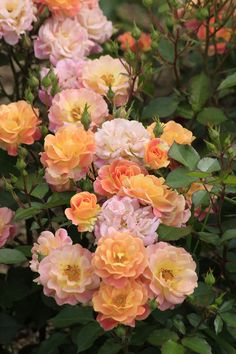 "Delbard ""Bordure Camaieu"" Peach and Pink French Roses!"