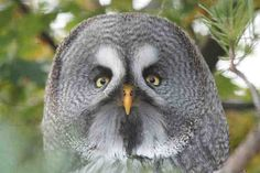 Great Grey Owl at Chester zoo | Flickr - Photo Sharing!