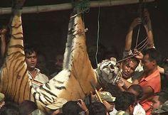 Des patrouilles pour sauver le tigre du Bengale
