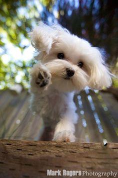 Please someone give me a Maltese!