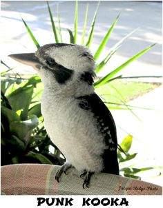 Unusual angle, looks like a punk hairdo on Kookaburra Blue Jay, Punk, Photos, Animals, Pictures, Animales, Animaux, Animal, Animais