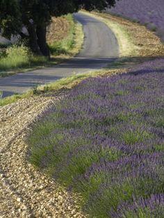 Lavande de Provence, France.