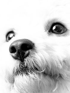 Bichon Frise Sylar by Art Mellor, via 500px (Looks like my Sunny!  Great piece of art!)