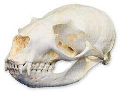 Mountain goat skull - photo#26