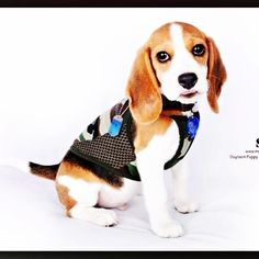 #beagle #snoop #love #pets #love4beagle #cute #picofday #dogs #dogs99 #woof #babe #sweet