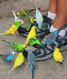 In Florida at Tampa's Lowry Park Zoo, parakeets work together to clean a pair of sneakers. How about a nice tip for these little fellas?