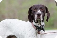 #MISSOURI ~ Reno ID 19580014 is a neutered #purebred German Shorthaired Pointer #adoptable in #KansasCity. -------- The Kansas City Pet Project was formed to help create a No Kill Community in the Kansas City Metro by providing innovative sheltering & animal control services. The purpose of the Kansas City Pet Project is to facilitate the placement of homeless pets into suitable homes. KC PET PROJECT 4400 Raytown Rd  #KansasCity MO   64129 info@kcpetproject.org Ph 816- 513-9821