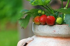 Some Strawberries on a container