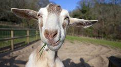 Afbeeldingsresultaat voor grappige geit