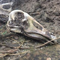 Nature has provided a wild fascination for my boys today.  Exploring the beach we discovered the skeletal remains of a greylag goose.  These large birds are seen in flocks grazing the fields all over Orkney. How this one died and came to rest halfway up a cliff  a fair distance from the nearest field is a mystery.  Even more of a mystery is how my youngest got up the small cliff!