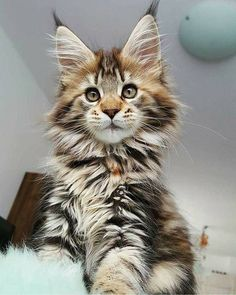 Beautiful Main Coon Cat #NorwegianForestCat