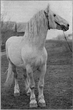 Grand champion Percheron mare