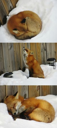 Fox sleeping in a ba