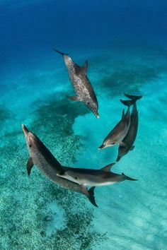 Atlantic Spotted Dolphins.