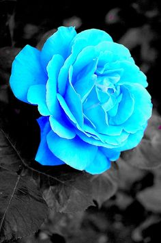 ice blue roses - Google Search