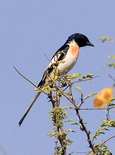 White-bellied Minivet: India