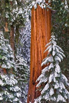 Giant Sequoia in winter, Giant Forest, Sequoia National Park, California USA / © Russ Bishop ~ Click image to purchase a print or license