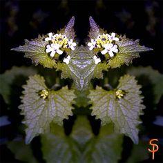 "Tauch ein in die Anderswelt ""Knoblauchsrauke Geist"" kreativesbypetra Petra, Plants, Plant, Planets"