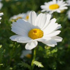 お疲れ様です! +950  Good evening my dear friends!   『 #ノースポール』#NorthPole   今夜はお花をお届け!  よく雨降りますね。 まるで梅雨の様ですね! そろそろお日様が恋しくなりました。  今日もご挨拶遅れてます。 この後出来る限りお邪魔します。  いつも有り難う御座います(^-^)  楽しい夜をお過ごし下さい!  #flowers #nice #parks #花