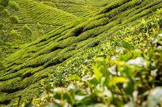 tea, tea, as far as the eye can see...