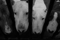 Bull Terrier gang