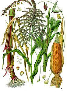 Corn. / corn silk / all benefits of corn