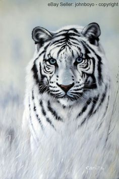 Painting: White Tiger Blue Eyes Big Cat Portrait Endangered Species Stretched Oil Painting