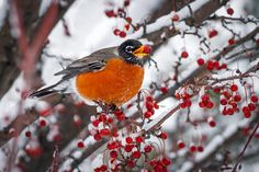 Robin with Crab Apple in the Snow