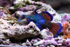Powered By Saltwater Mandarin Fish Marine Aquarium Aquarium Fish