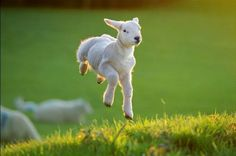no words can explain how much i love lambs..