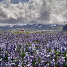 A sea of beautiful Lupines, Iceland...this is amazing!!