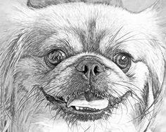 Pekingese pencil drawing