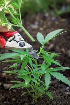 Bay Area expert gardener Johanna Silver walks you through how to cultivate your very own weed garden in 7 steps. Hydroponic Grow Systems, Hydroponic Gardening, Hydroponics, Gardening Tips, Growing Weed, Growing Herbs, Cannabis Cultivation, Gardens, Ganja