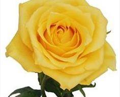 Aaslmeer Gold - Standard Rose - Roses - Flowers by category   Sierra Flower Finder