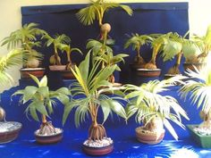 "Interior Ornament Pot Plant for Bonsai The ""Coco Bonsai"" is easy to maintain and take care of, need only small water, sun light and fertilizer to grows."