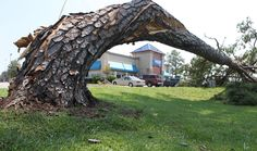 A pine tree twisted by Hurricane Irene on August 28, 2011 in Jacksonville, North Carolina. (AP Photo/The Jacksonville Daily News, John Althouse)