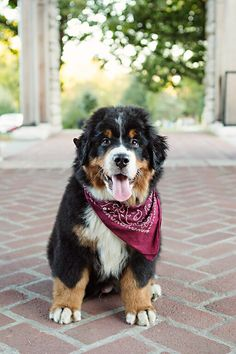 Bernese mountain dog puppy- 3 months old