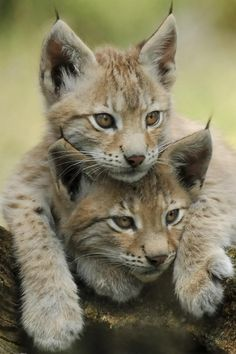~~lynx kittens | lynx have a short tail and characteristic tufts of black hair on the tips of their ears; large, padded paws for walking on snow; and long whiskers on the face~~
