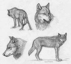 IWC Wolf sketches by *Canis-ferox