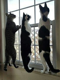 Watching the birds from inside. It will not make a meal for tonight. Funny Cats, Funny Animals, Cute Animals, Photo Chat, Tier Fotos, White Cats, Domestic Cat, Beautiful Cats, Pet Shop