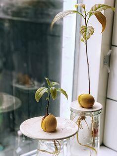 avocadoboom groeien Herb Garden, Indoor Garden, Home And Garden, Planting Succulents, Planting Flowers, Avocado Plant, Cut Flowers, Houseplants, Flora