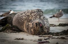 Wild Harbour Seals, Casa Beach, La Jolla