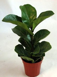 Fiddleleaf Fig Tree Ficus Great Indoor Tree Easy 4 Pot Native to western Africa from Cameroon west to Sierra Leone Makes a stunning indoor tree Easy to grow Provide m.