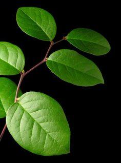 7. Gaultheria shallon - salal blad