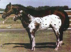 119 Best Appaloosa images in 2018 | Beautiful horses, Pretty