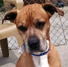 Meet 02 Ely, a Petfinder adoptable Boxer Dog | Canton, OH | Release date 8/10, $86.00 fee includes OH license, DA2PP, Bordetella vaccine, Hw testing, Worming...