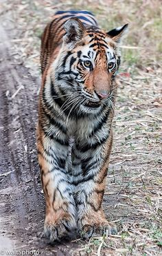tiger at bandhavgarh reserve   by whereiswallynow